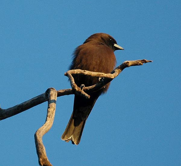 Little Woodswallow | Artamus minor photo
