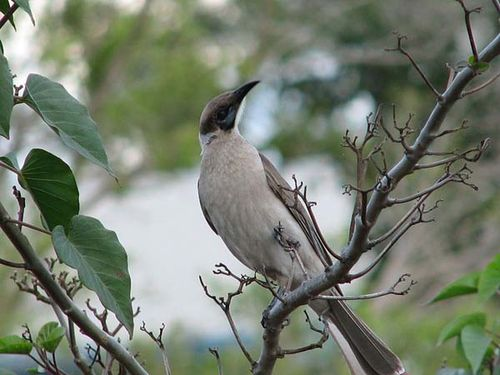 Little Friarbird | Philemon citreogularis photo