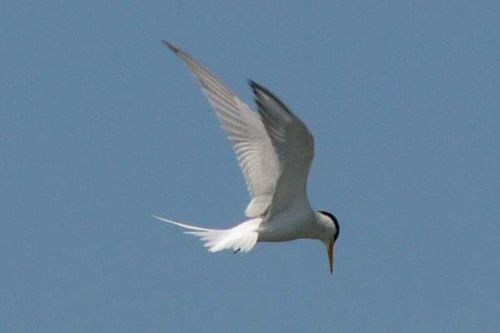 Little Tern | Sterna albifrons photo