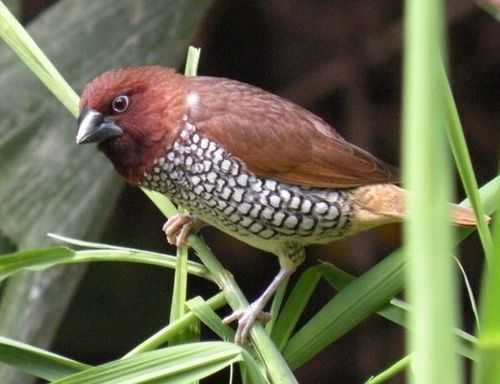 Nutmeg Munia | Lonchura punctulata photo