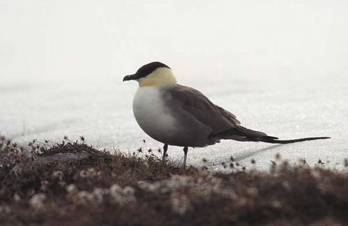 Long-tailed Jaeger | Stercorarius longicaudus photo