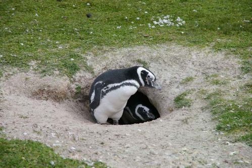Magellanic Penguin | Spheniscus magellanicus photo
