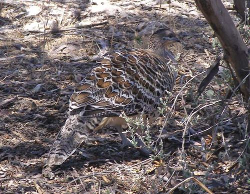 Malleefowl | Leipoa ocellata photo
