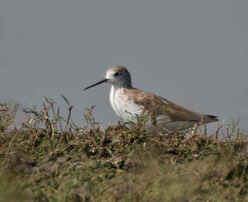 Marsh Sandpiper | Tringa stagnatilis photo
