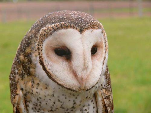 Masked Owl | Tyto novaehollandiae photo