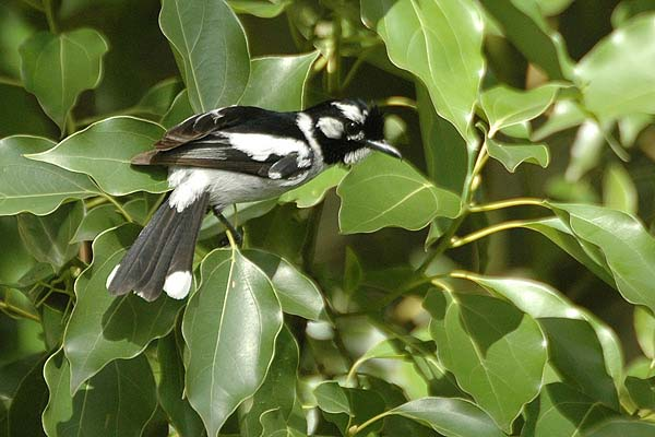 White-eared Monarch | Monarcha leucotis photo
