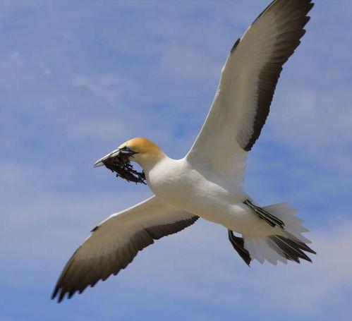Australian Gannet | Morus serrator photo