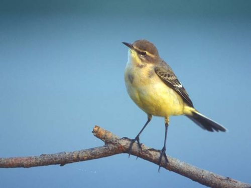 Yellow Wagtail | Motacilla flava photo