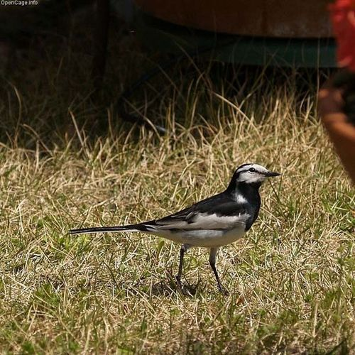 Black-backed Wagtail | Motacilla lugens photo