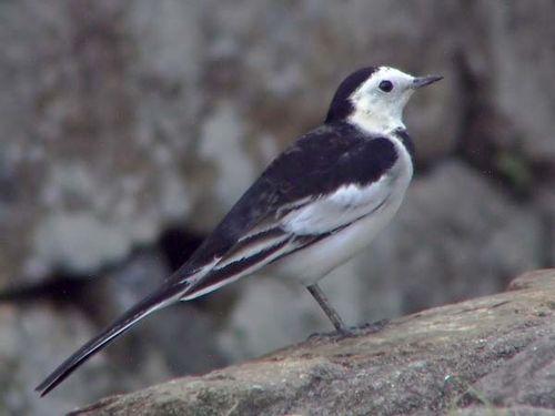 Black-backed Wagtail   Motacilla lugens photo