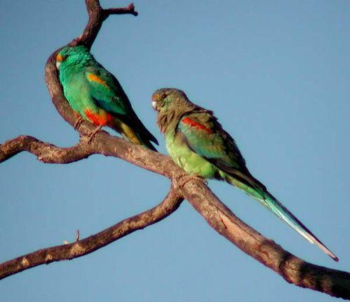 Mulga Parrot | Psephotus varius photo