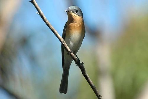 Leaden Flycatcher | Myiagra rubecula photo