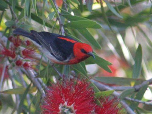 Scarlet Honeyeater | Myzomela sanguinolenta photo