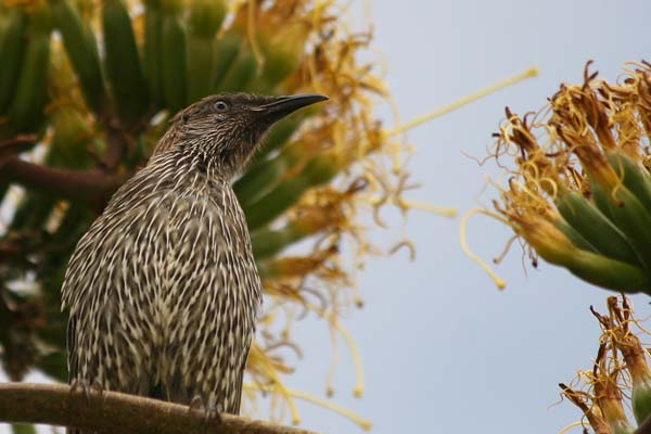 Little Wattlebird | Anthochaera chrysoptera photo