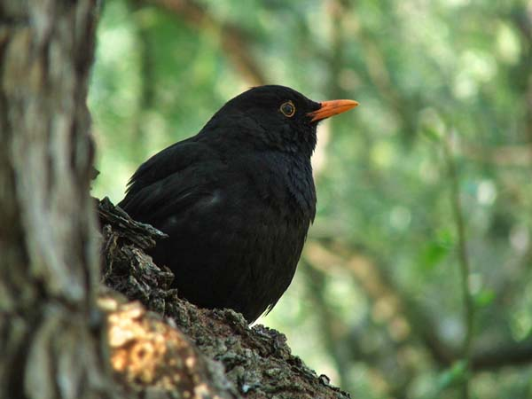 Eurasian Blackbird | Turdus merula photo