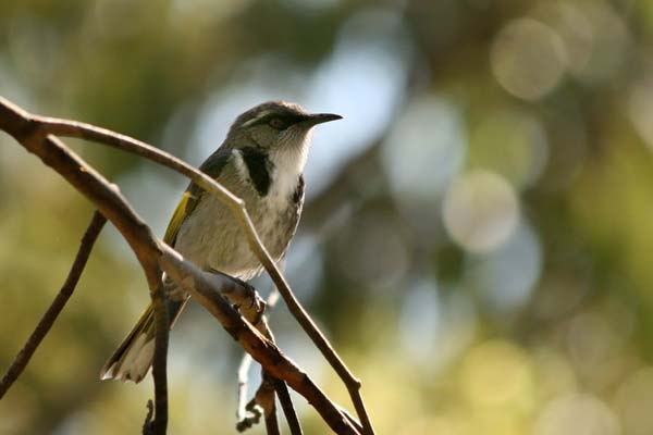 Crescent Honeyeater | Phylidonyris pyrrhoptera photo