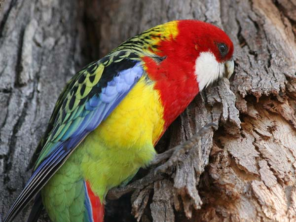 Eastern Rosella | Platycercus eximius photo