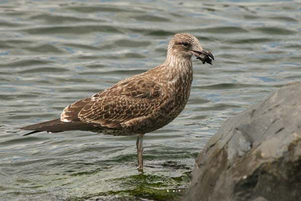 Kelp Gull | Larus dominicanus photo