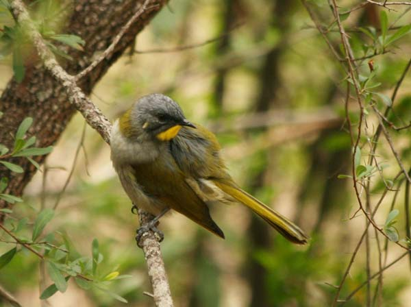 Yellow-throated Honeyeater | Lichenostomus flavicollis photo