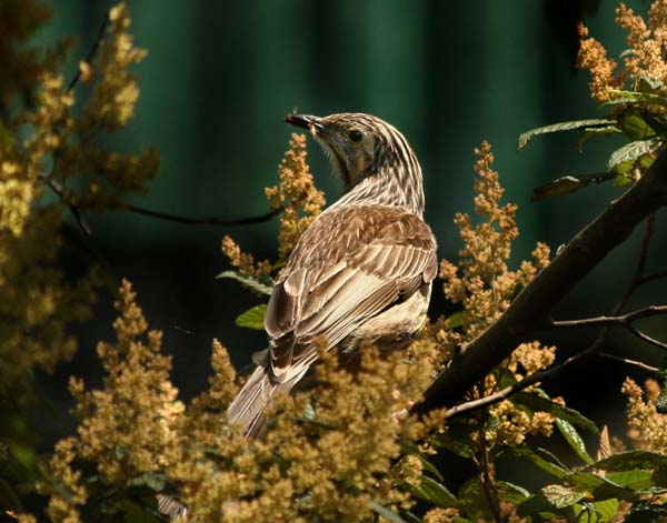 Yellow Wattlebird | Anthochaera paradoxa photo