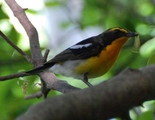 Narcissus Flycatcher | Ficedula narcissina photo