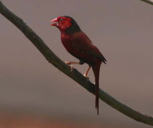 Crimson Finch | Neochmia phaeton photo