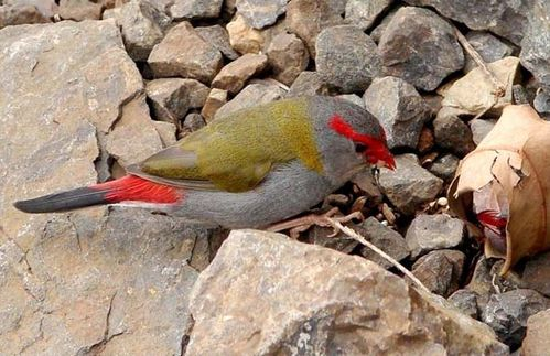 Red-browed Finch | Neochmia temporalis photo