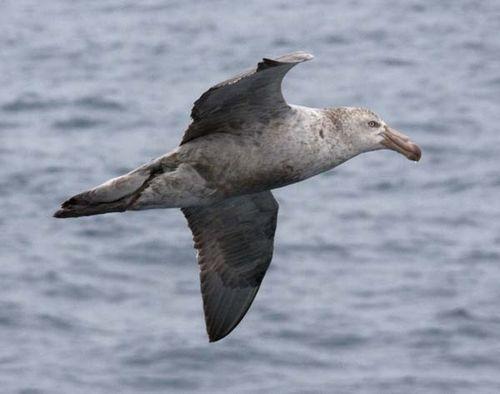 Northern Giant-Petrel | Macronectes halli photo