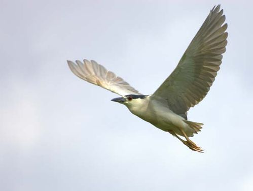 Black-crowned Night Heron | Nycticorax nycticorax photo