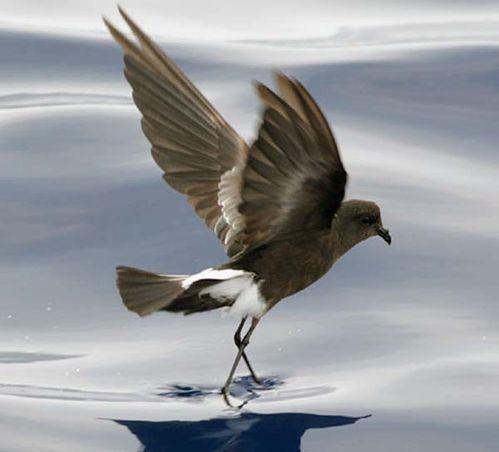 Wilsons Storm-Petrel | Oceanites oceanicus photo