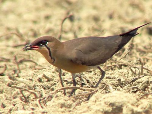 Oriental Pratincole | Glareola maldivarum photo