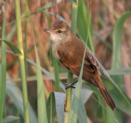 Oriental Reed-Warbler   Acrocephalus orientalis photo