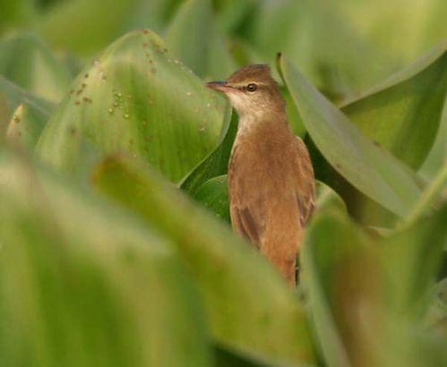 Oriental Reed-Warbler | Acrocephalus orientalis photo