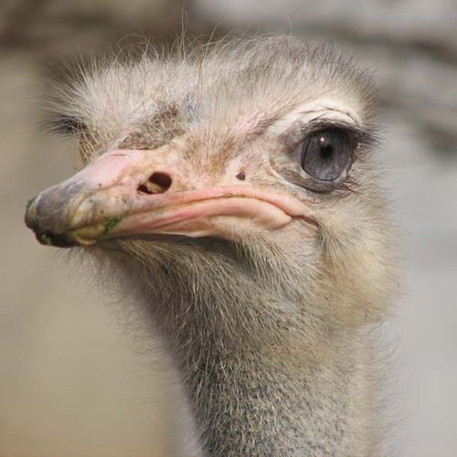Ostrich | Struthio camelus photo