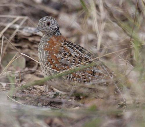 Painted Button-quail | Turnix varia photo