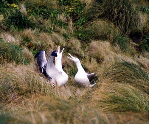 Royal Albatross | Diomedea epomophora photo
