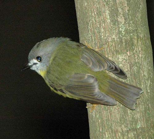 Pale-yellow Robin | Tregellasia capito photo