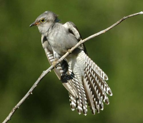 Pallid Cuckoo | Cuculus pallidus photo