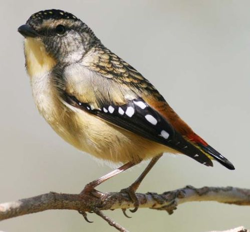 Spotted Pardalote | Pardalotus punctatus photo