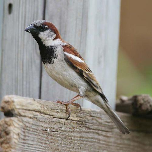House Sparrow   Passer domesticus photo