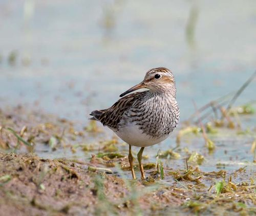 Pectoral Sandpiper | Calidris melanotos photo