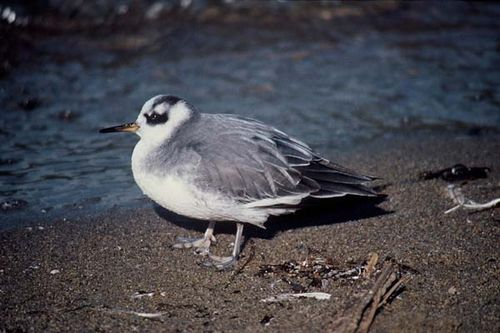 Grey Phalarope | Phalaropus fulicaria photo