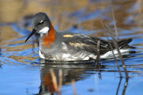 Red-necked Phalarope | Phalaropus lobatus photo