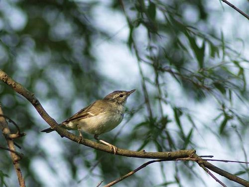 Arctic Warbler | Phylloscopus borealis photo