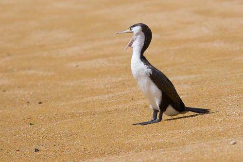 Pied Cormorant | Phalacrocorax varius photo