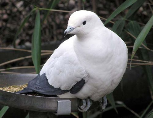 Pied Imperial-Pigeon | Ducula bicolor photo
