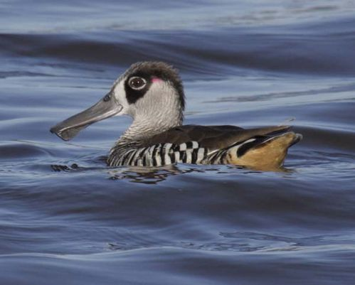 Pink-eared Duck | Malacorhynchus membranaceus photo