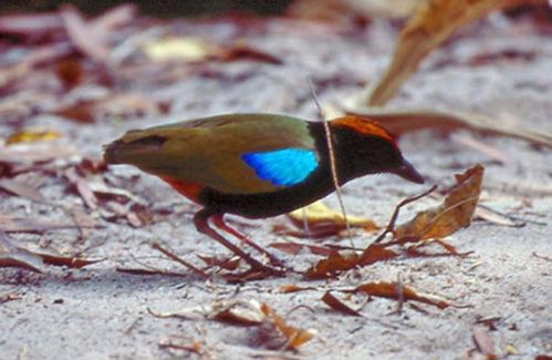 Rainbow Pitta | Pitta iris photo