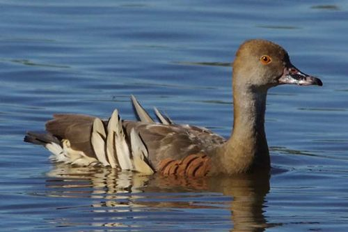 Plumed Whistling Duck | Dendrocygna eytoni photo