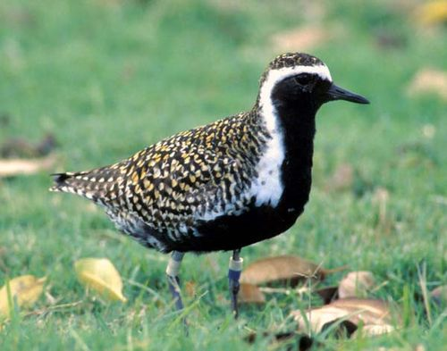 Pacific Golden Plover | Pluvialis fulva photo